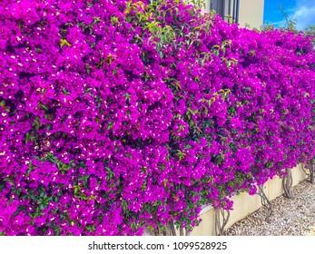 Purple bougainvillea flowers creating a hedge like wall cover on a wall