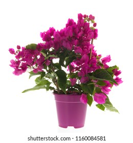 Purple Bougainvillea in plastic pot isolated over white background
