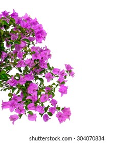 Purple bougainvilleas isolated on white background.
