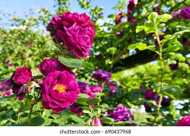 Purple Bourbone roses