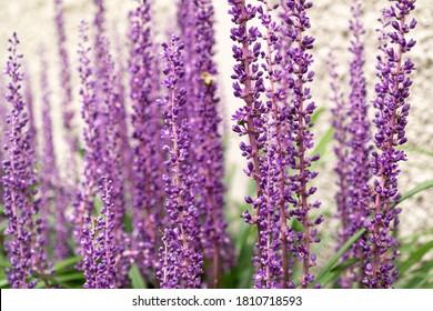 a purple Broadleaf Liriope rhizome  flower blooming beautifully in the park.
