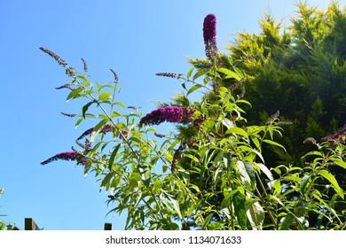 Purple buddleja flowers with a blue sky