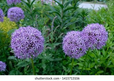 Purple bulbs of Flowering Onion (Allium 'Gladiator')
