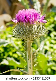 Purple Bull Thistle with small black insects in its flowerhead. Close up image
