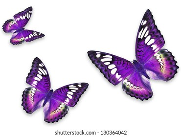 Purple Butterflies Isolated on White Flying towards center of frame