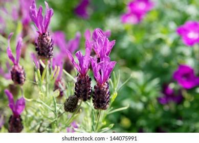 Purple butterfly lavender flowers in summer sunlight.