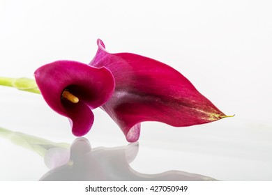 purple calla flower