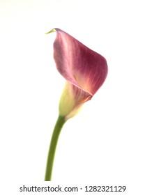 purple calla lily white background