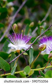 purple capparis flower
