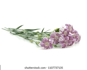 Purple Carnation (Dianthus caryophyllus) flower on a white background