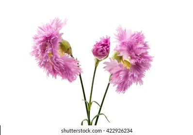 purple carnation isolated on a white background