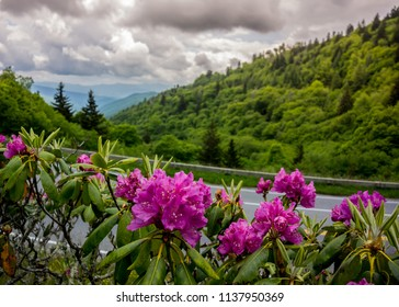 Purple catawba rhododendron near Clingmans Dome in the Smokies