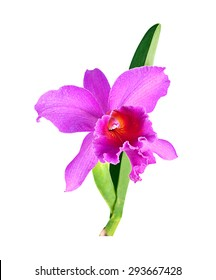 Purple Cattleya Orchid isolated on a white background.