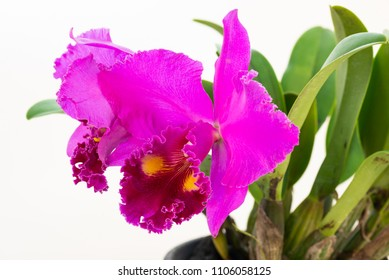 Purple cattleya orchids on a white background