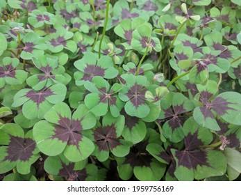 Purple centered green heart shaped leaves of Shamrock plant (Oxalis tetraphylla)