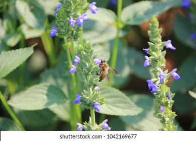 Purple chia flower bee and chia leaves (Salvia hispanica) still on the plant.