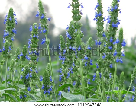 Purple Chia Flower Blooming Green Foliage Stock Photo (Edit Now ...