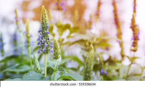 Purple chia flowers on stalk growing in garden in Spring landscape