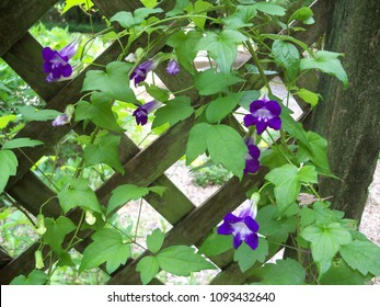 Purple Chicabiddy or trailing snapdragon flowers on a wooden lattice fence