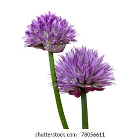 Purple chive (allium schoenoprasum) flowers on a white background.