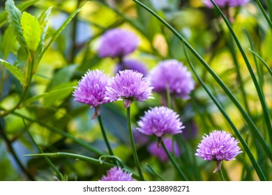 Purple Chive flowers (Allium schoenoprasum) with shallow depth of field