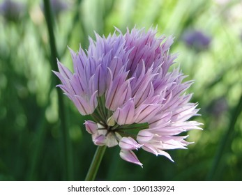 Purple Chives flower (or Wild Chives, Flowering Onion, Garlic Chives, Chinese Chives, Schnitt Lauch) on sunlight green background
