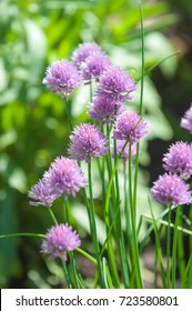 """Purple """"Chives"""" flower (or Wild Chives, Flowering Onion, Garlic Chives, Chinese Chives, Schnitt Lauch) in St. Gallen, Switzerland. Its Latin name is Allium Schoenoprasum."""