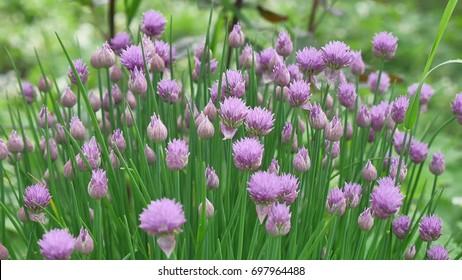 """Purple """"Chives"""" flower or Wild Chives, Flowering Onion, Garlic Chives, Chinese Chives, Schnitt Lauch in St. Gallen, Switzerland. Its Latin name is Allium Schoenoprasum."""