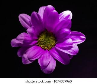 Purple Chrysanthemum flower against a black background