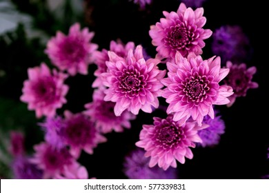 Dark pink flowers images stock photos vectors shutterstock purple chrysanthemum flower on dark detail of pink chrysanthemum flower head closeup mightylinksfo