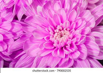 purple chrysanthemum flower as a texture