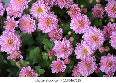 Purple flower with yellow center images stock photos vectors purple chrysanthemum flowers with yellow center and petals with good structure autumn season flowers background mightylinksfo