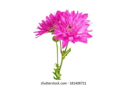 purple chrysanthemum isolated on white background