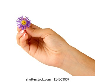 Purple chrysanthemum with woman's hands on white background