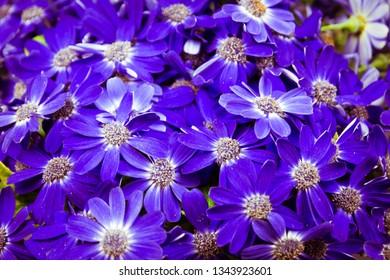 Purple cineraria flowers