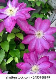 Purple Clematis flower flowering vine.