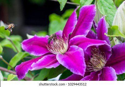 Purple clematis flower in a garden, with bees pollinating it