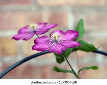 purple clematis flower in the garden (city of lyon)