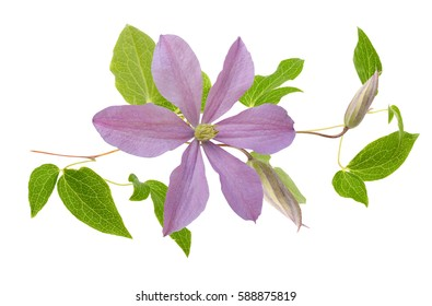 Purple clematis flower on a white background