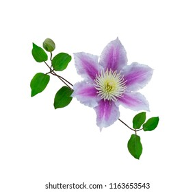 Purple clematis on a stem isolated on white background