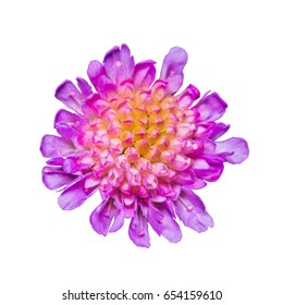 Purple Clover Flower Head Isolated on White