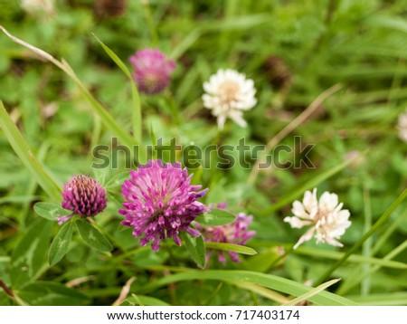 Purple Clover Flower On Green Lawn Stock Photo Edit Now 717403174