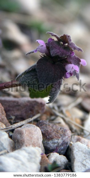 purple clover plant and leaf with rocks and blurred background