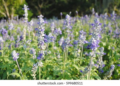 Purple cluster flower of Lavenders blooming on field with forest background