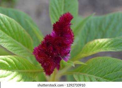 Purple Cockscomb and green leafs