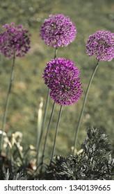 Purple color ornamental onion Allium bulgaricum in the garden
