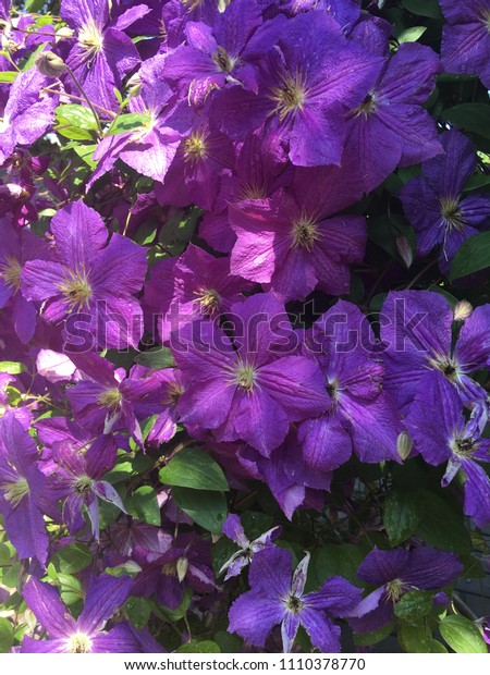 The purple color summer blooming flowers of clematis. Purple clematis background. Blooming purple flowers background. Purple background. Garden flowers petals. Clematis is blooming. Clematic closeup.