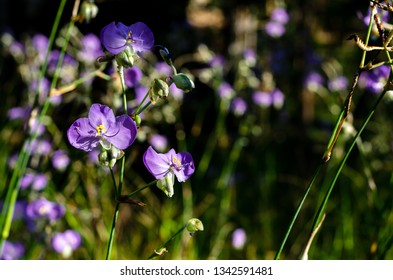 Purple color Tradescantia or Spiderworts flower which is wildflower that can eat and decorate on dish for food.