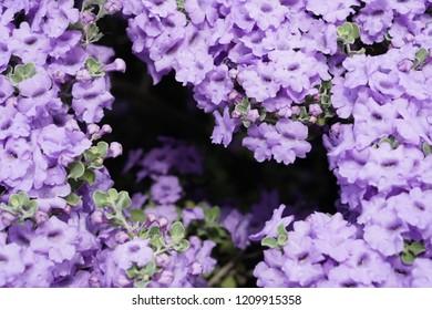 Purple Colored Flowering Bush