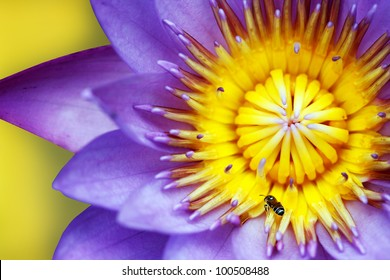 Purple colored water lily closeup showing yellow stamens and honeybee searching for nectar